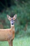 Roe-deer in the forest, a portrait Royalty Free Stock Images
