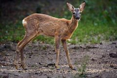 Roe deer by the forest. Roe deer at the edge of the forest Royalty Free Stock Image