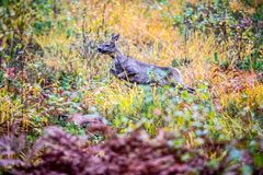 Roe deer in forest running royalty free stock photos