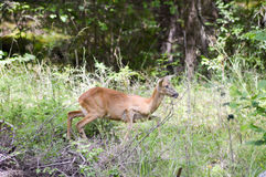 Roe deer in the forest of a tyrolean. Mountain in austria Royalty Free Stock Photo