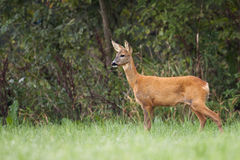 Roe-deer in the forest. Stock Photos