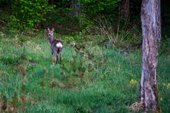 Roe deer in forest royalty free stock photo