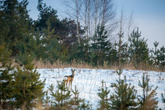 Roe deer in forest stock photo