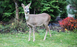 Roe-deer in a garden Stock Photo