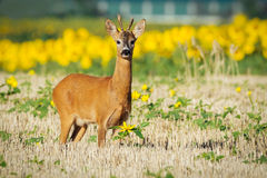 Roe deer on the golden wheat field Stock Photos