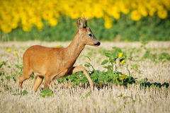 Roe deer on the golden wheat field Stock Image