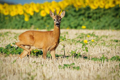 Roe deer on the golden wheat field Stock Images