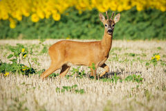 Roe deer on the golden wheat field Royalty Free Stock Images
