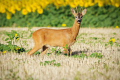 Roe deer on the golden wheat field Stock Photography