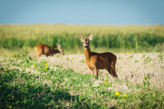 Roe deer on the golden wheat field Royalty Free Stock Image