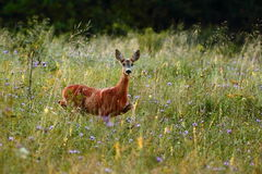 roe deer in the grass Royalty Free Stock Photo
