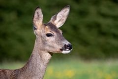 Roe deer in grass, Capreolus capreolus. royalty free stock images