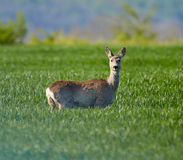 Roe deer in a grass field Royalty Free Stock Images