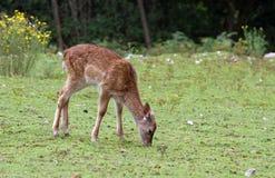 Roe deer grazing alpine meadow grass Stock Image