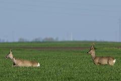 Roe deer  grazing in field ( Capreolus capreolus ) Stock Image