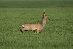 Roe deer  grazing in field ( Capreolus capreolus ) Royalty Free Stock Photo