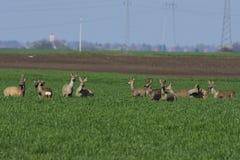 Roe deer  grazing in field ( Capreolus capreolus ) Stock Photo