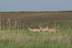 Roe deer  grazing in field ( Capreolus capreolus ) Royalty Free Stock Photography
