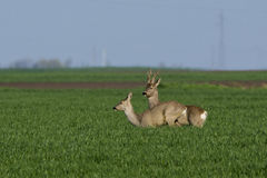 Roe deer  grazing in field ( Capreolus capreolus ) Stock Photos