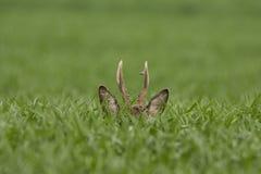 Roe deer  grazing in field ( Capreolus capreolus ) Stock Photography