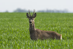 Roe deer  grazing in field ( Capreolus capreolus ) Royalty Free Stock Photography