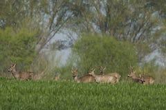 Roe deer  grazing in field ( Capreolus capreolus ) Royalty Free Stock Photos
