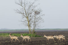 Roe deer  grazing in field ( Capreolus capreolus ) Stock Photography