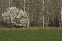 Roe deer  grazing in field ( Capreolus capreolus ) Royalty Free Stock Images