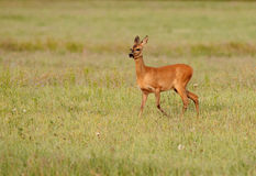 Roe deer grazing on the meadow Royalty Free Stock Photos