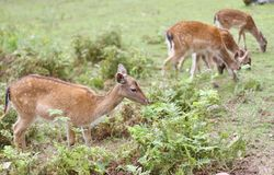 Roe deer grazing in the mountains stock photography