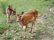 Roe deer grazing in the mountains Royalty Free Stock Image