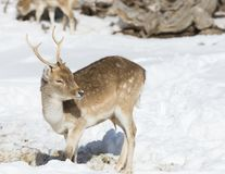 Roe deer grazing in a winter forest royalty free stock photo