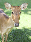 Roe deer on the green grass Royalty Free Stock Photos