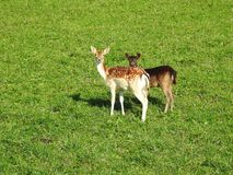 Roe deer on green grass, Lithuania royalty free stock photo