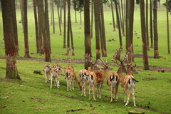 Roe deer group. Wild animals szenario in germany. they are standing on a clearance in a big forest Royalty Free Stock Photo