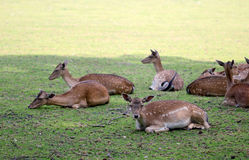 Roe deer group laying in the shadow Royalty Free Stock Images
