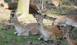 Roe deer group laying in the shadow Stock Photo