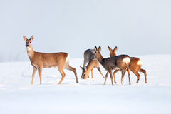 Roe deer group in winter in a sunny day. Roe deer group in winter in a sunny day Royalty Free Stock Photography
