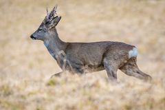 Roe deer with hairy antlers running royalty free stock photo