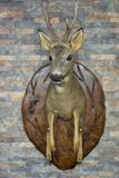 Roe deer head Royalty Free Stock Images