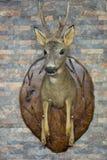 Roe deer head. View of Roe Deer head trophy royalty free stock images