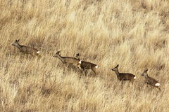 Roe deer herd in big faded grass Royalty Free Stock Image