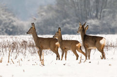 Roe deer herd Royalty Free Stock Images