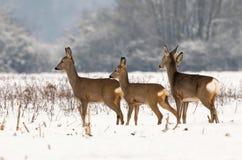 Roe deer herd Royalty Free Stock Images