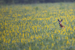 Roe deer hidden in the flowers Stock Images