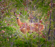 Roe deer in the hide Stock Photography