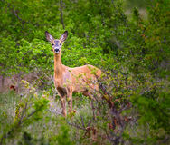 Roe deer in the hide. Roe deer in the forest hiding behind bushes Stock Images