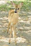 Roe deer, immature (Capreolus capreolus Royalty Free Stock Images