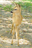 Roe deer, immature (Capreolus capreolus Stock Photography