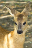 Roe deer, immature (Capreolus capreolus Stock Photo